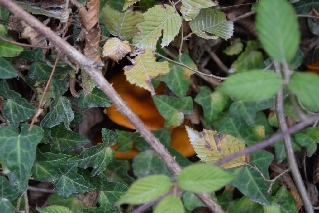 Придорожные грибы. Несъедобные