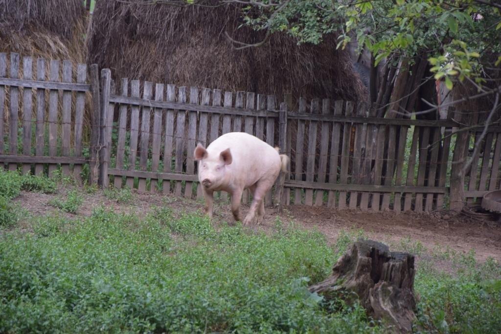 Свинья радостно мчится к новым людям